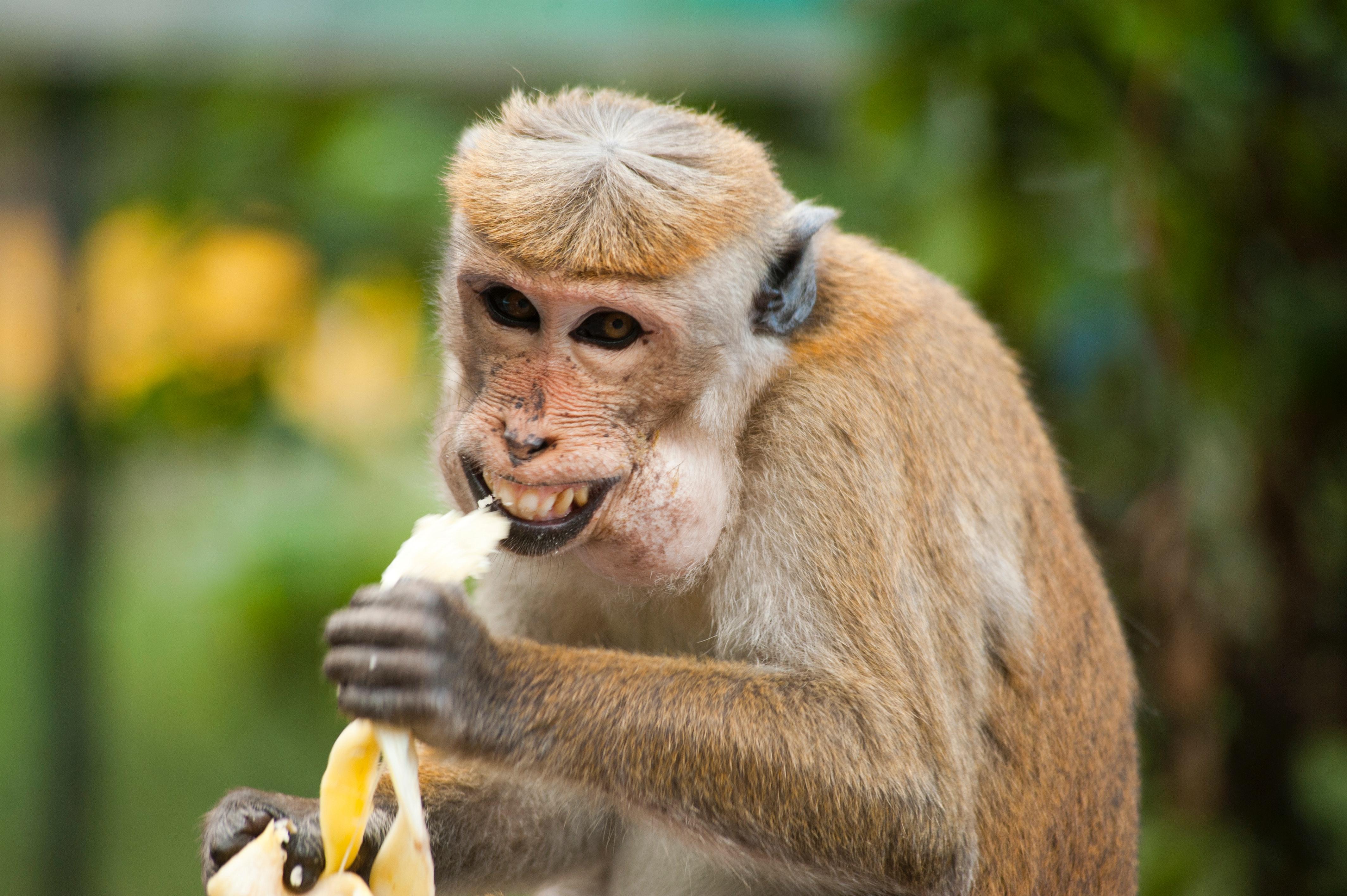 Apina syö banaania